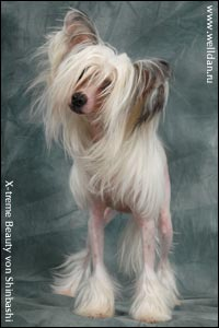 Chinese Crested Dog X-treme Beauty von Shinbashi