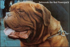 бордоский дог Belmondo the Red Powerpack